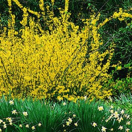 Aranyfa Forsythia intermedia 'Weekend' ('Coutalyn')