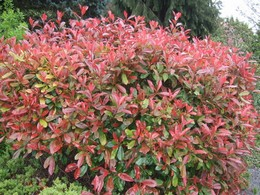Törpe korallberkenye Photinia fraseri 'Little Red Robin'