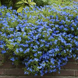 Kőmagcserje kék Lithodora diffusa 'Heavenly Blue'