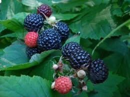 Fekete málna  Rubus occidentalis 'Black Jewel'
