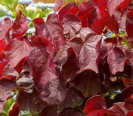 Júdásfa bordó levelű Cercis canadensis 'Red Force'
