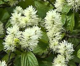 Bóbitacserje Fothergilla major
