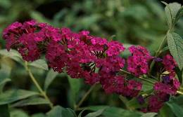 Nyáriorgona, liláspiros Buddleja davidii 'Royal Red'