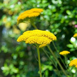 Cickafark jószagú Achillea filipendula 'Cloth of Gold'