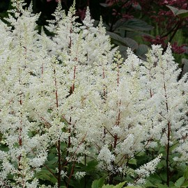 Tollbuga kerti, fehér Astilbe arendsii 'Rock and Roll'