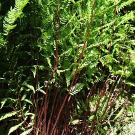 Hölgypáfrány erdei Athyrium filix-femina 'Lady in Red'