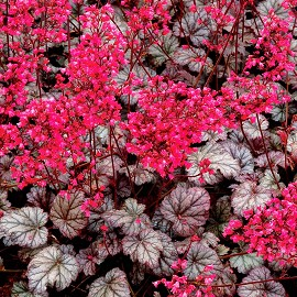 Tűzeső, ezüstös-bordó lombú Heuchera 'Rave On'