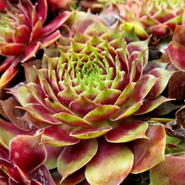 Kövirózsa, bordó-zöld Sempervivum 'Commander Hay'