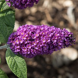 Nyáriorgona, lila Buddleja 'Purple Splendor'
