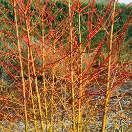 Som veresgyűrűs Cornus sanguinea 'Magic Flame'
