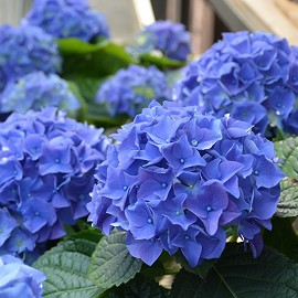 Hortenzia, kék Hydrangea macrophylla 'Early Blue'