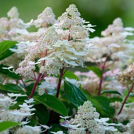 Hortenzia, krémfehér Hydrangea paniculata 'Early Harry'