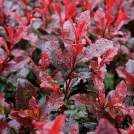 Korallberkenye Photinia fraseri 'Red Fire'