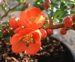 Japánbirs, naracssárga Chaenomeles superba 'Orange Trail'