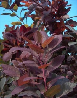 Vörös lombú cserszömörce, Cotinus coggygria 'Royal Purple'
